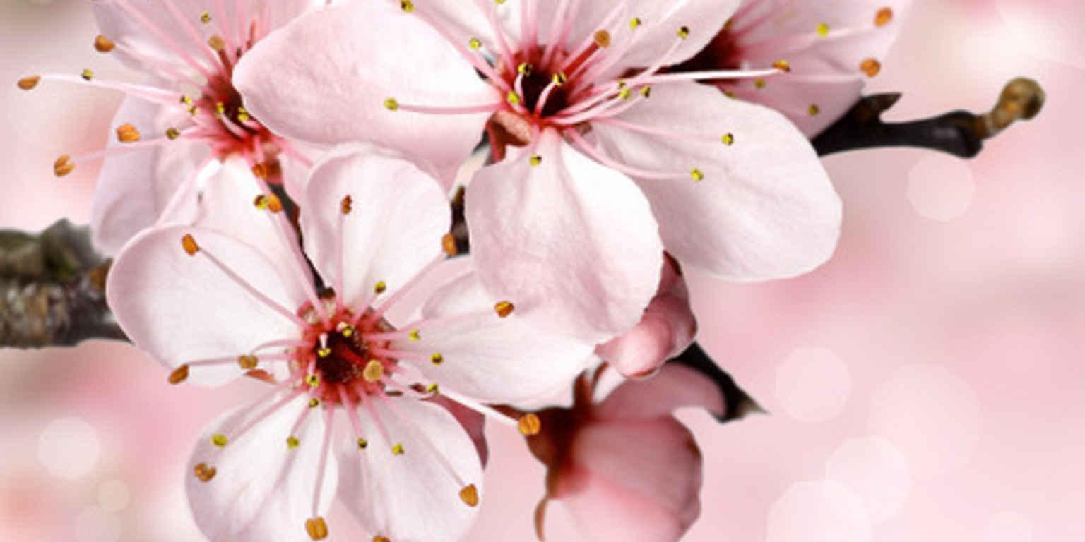 Blossom cropped2